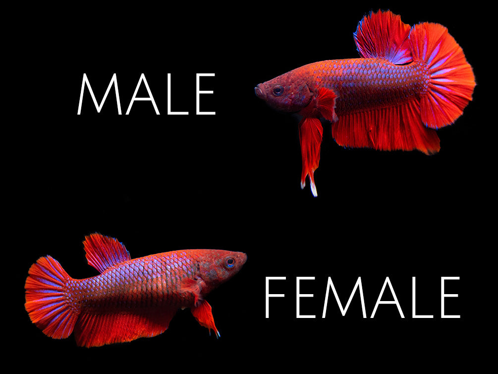 Assorted Hellboy Plakat Betta (Betta splendens) - Tank-Bred!