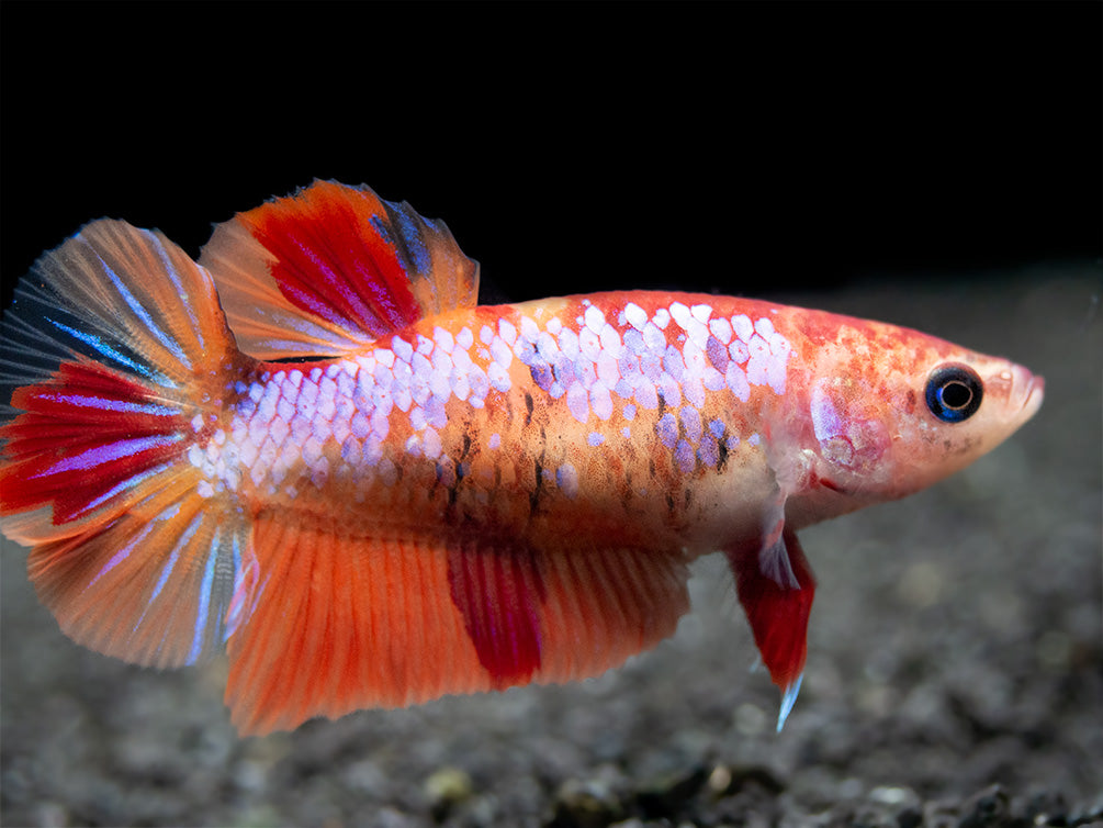 Assorted Koi Nemo Plakat Betta (Betta splendens) - Tank-Bred!