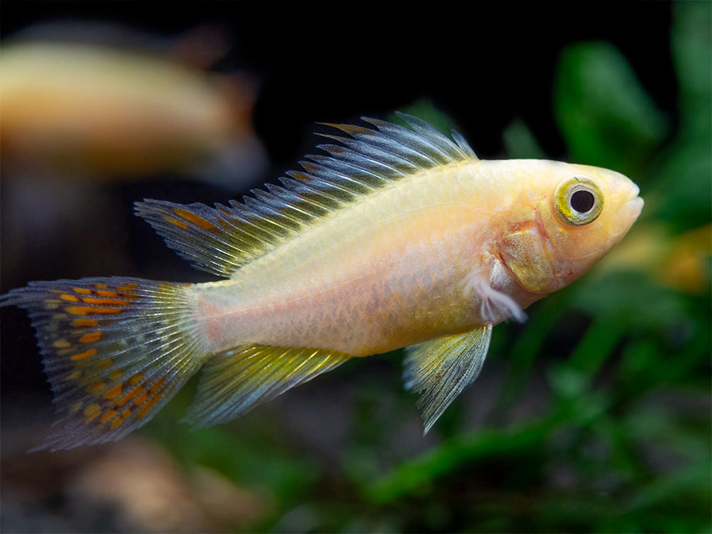 Platinum Double Red Cockatoo Dwarf Cichlid (Apistogramma cacatuoides) - TANK-BRED!!!