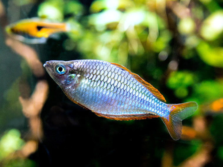 Dwarf neon praecox rainbowfish aquatic arts for Dwarf rainbow fish