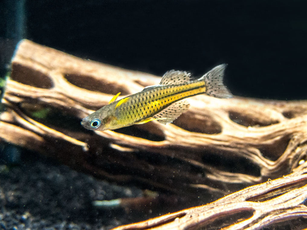Gertrude's Spotted Blue Eye Rainbowfish, Longfin (Pseudomugil gertrudae) - Tank-Raised!