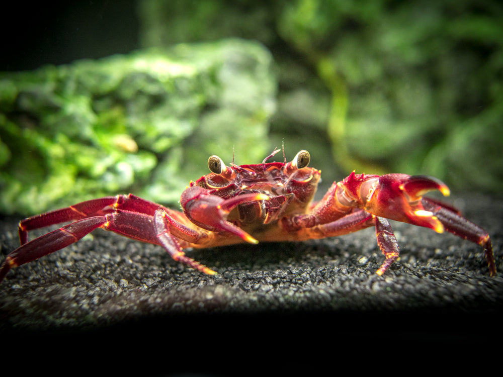 Purple Matano Crab (Syntripsa matannensis)