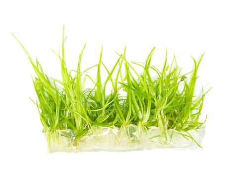 Dwarf Hairgrass (Eleocharis parvula) - Potted