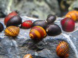 Red, Gold, and Black Nerite Snail Combo