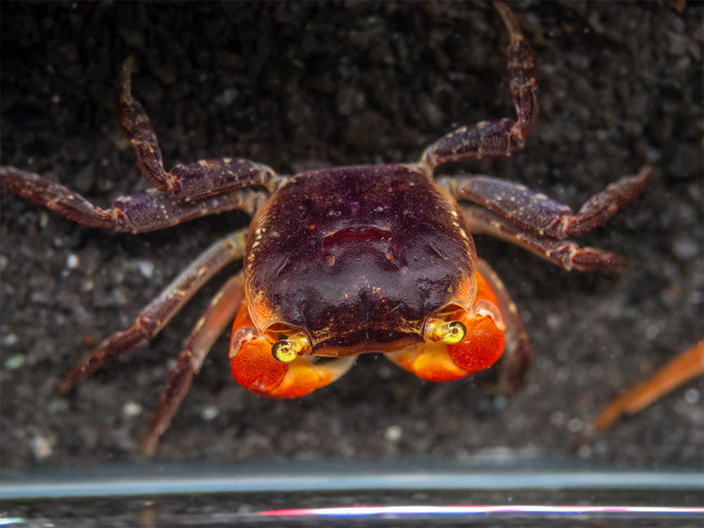 Red Apple AKA Chameleon Crab (Metasesarma aubryi)