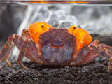 Red Arm Vampire Crab (Geosesarma bicolor)
