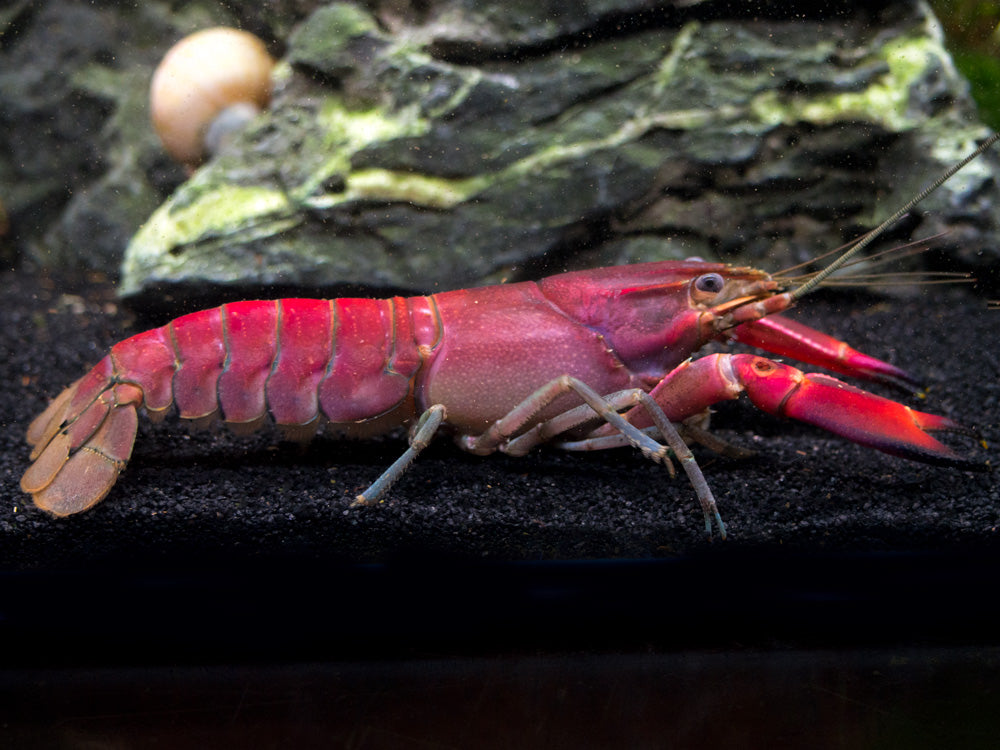 "Red Chili AKA Red Brick Crayfish (Cherax boesemani var. ""Red Brick"")"