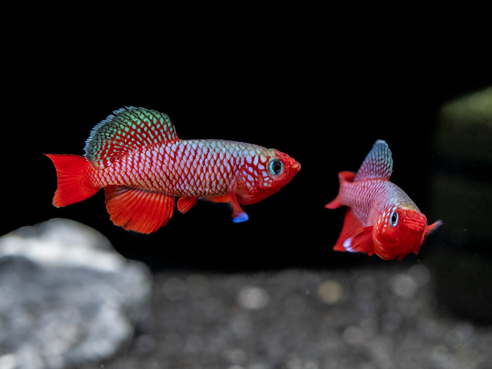 Red Egger's Killifish (Nothobranchius eggersi), Tank-Bred!