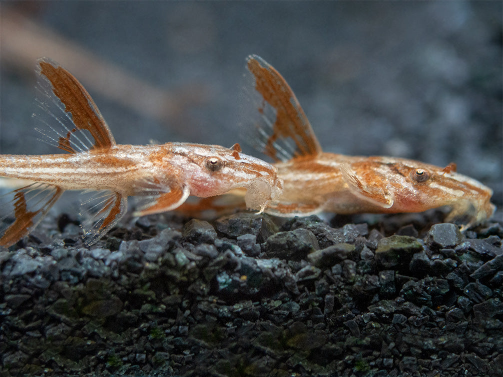 Red Lizard Whiptail Catfish (Rineloricaria sp.) - Tank-Bred!