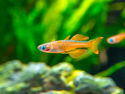 Blue Belly Red Goby (Lentipes ikeae)