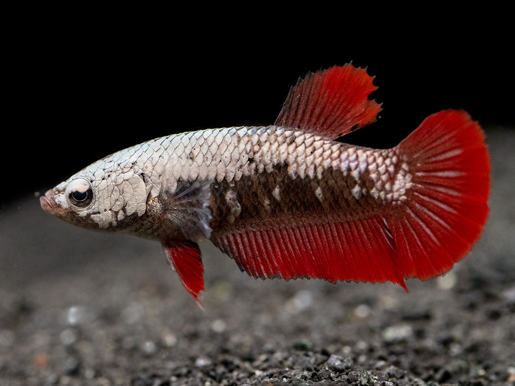 Assorted Red Samurai Plakat Betta (Betta splendens) - Tank-Bred!