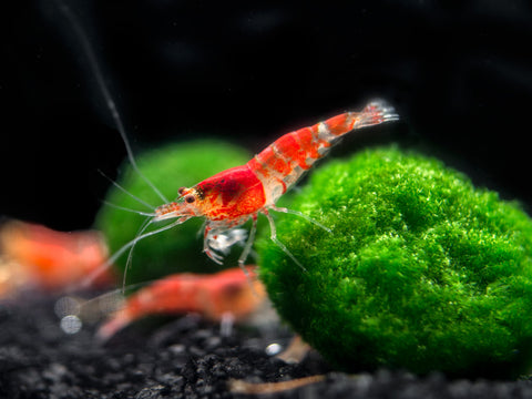 Orange Rili Shrimp (Neocaridina davidi), Tank-Bred!