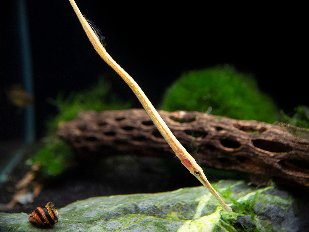 Red Line AKA Short Tail Pipefish (Microphis brachyurus)