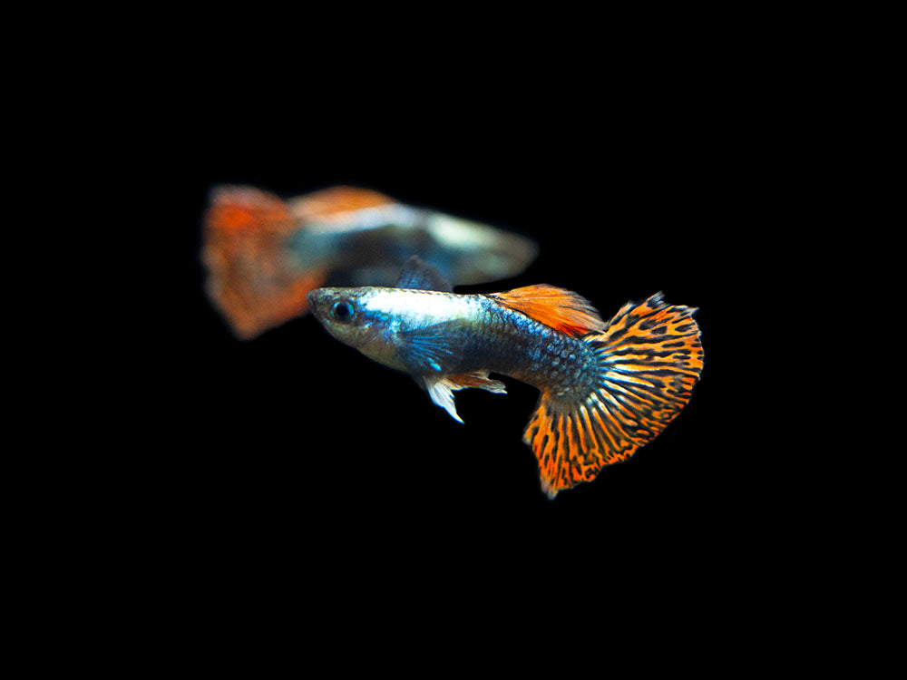 "Red Mosaic Dumbo Guppy (Poecilia reticulata ""Red Mosaic Dumbo""), Males and Females, Tank-Bred!"