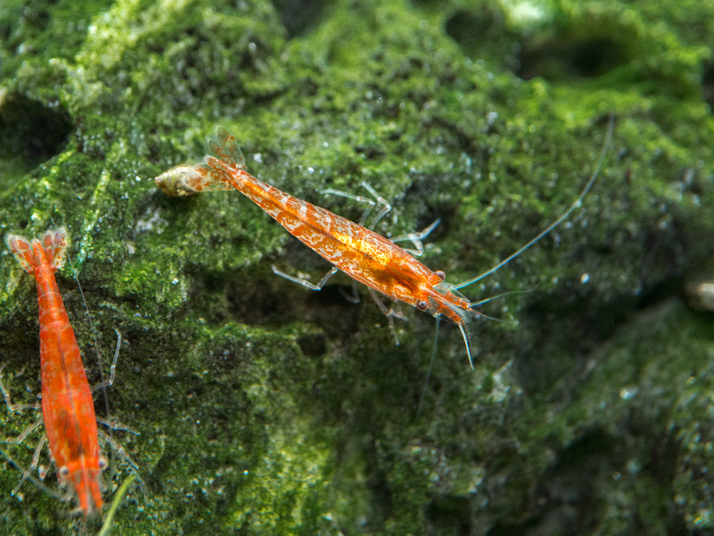 Regular Grade Red Cherry Shrimp (Neocaridina davidi), Tank-Bred!
