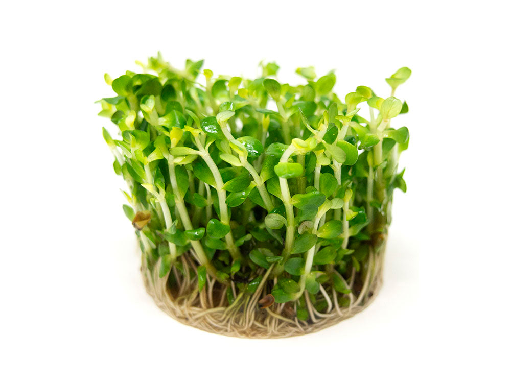 "Bonsai Rotala AKA Indian Toothcup AKA True Rotala indica (Rotala sp. ""Bonsai"") Tissue Culture"