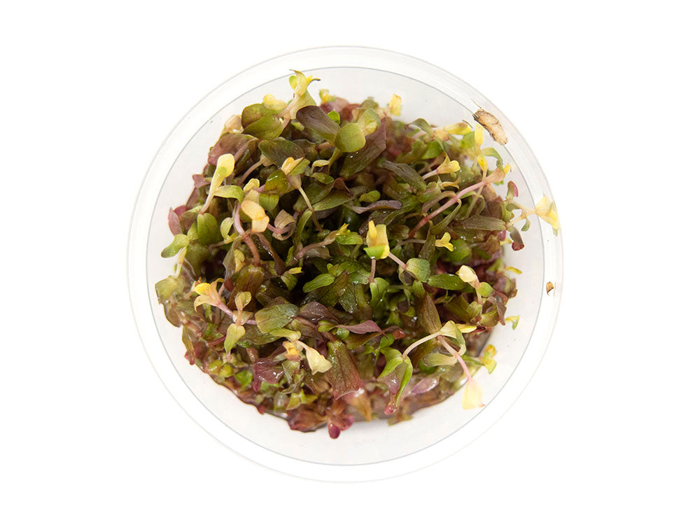 Rose Red Rotala (Rotala macrandra) Tissue Culture