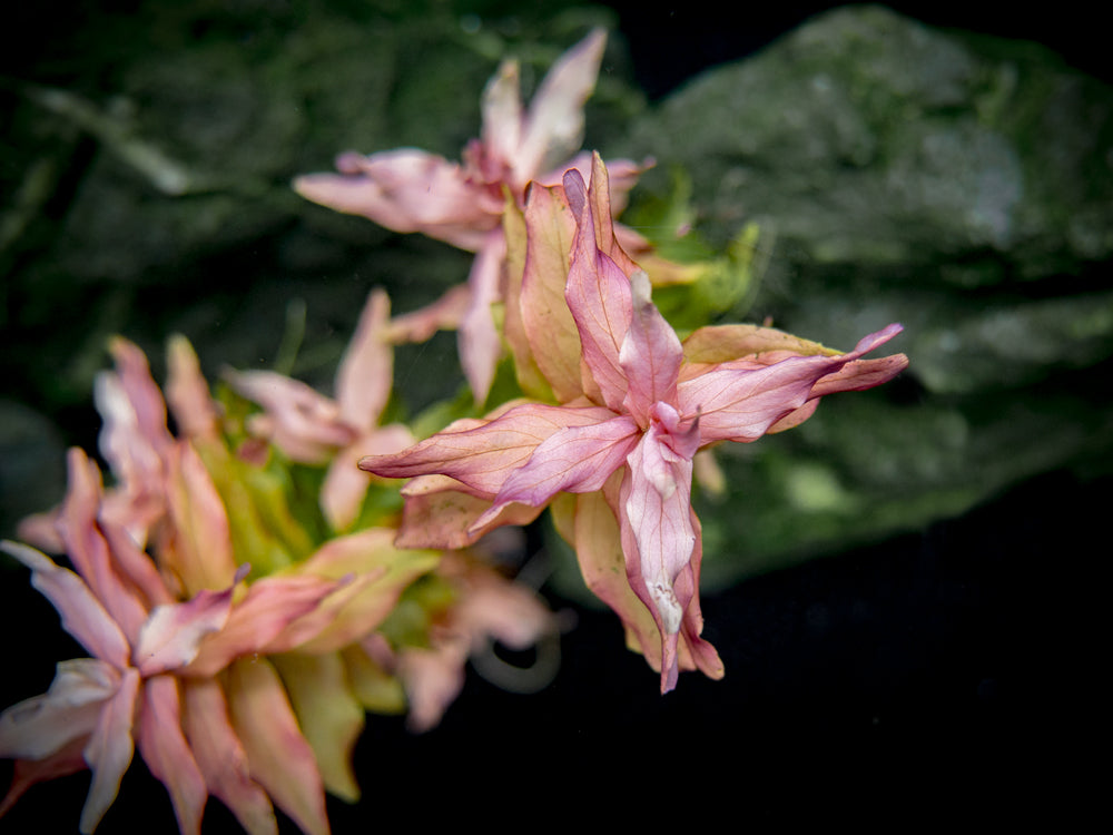 Rose Red Rotala (Rotala macrandra), bunch