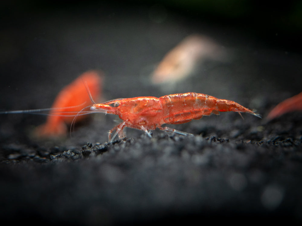 Red and Yellow Dwarf Shrimp Combo Pack, Tank-Bred!