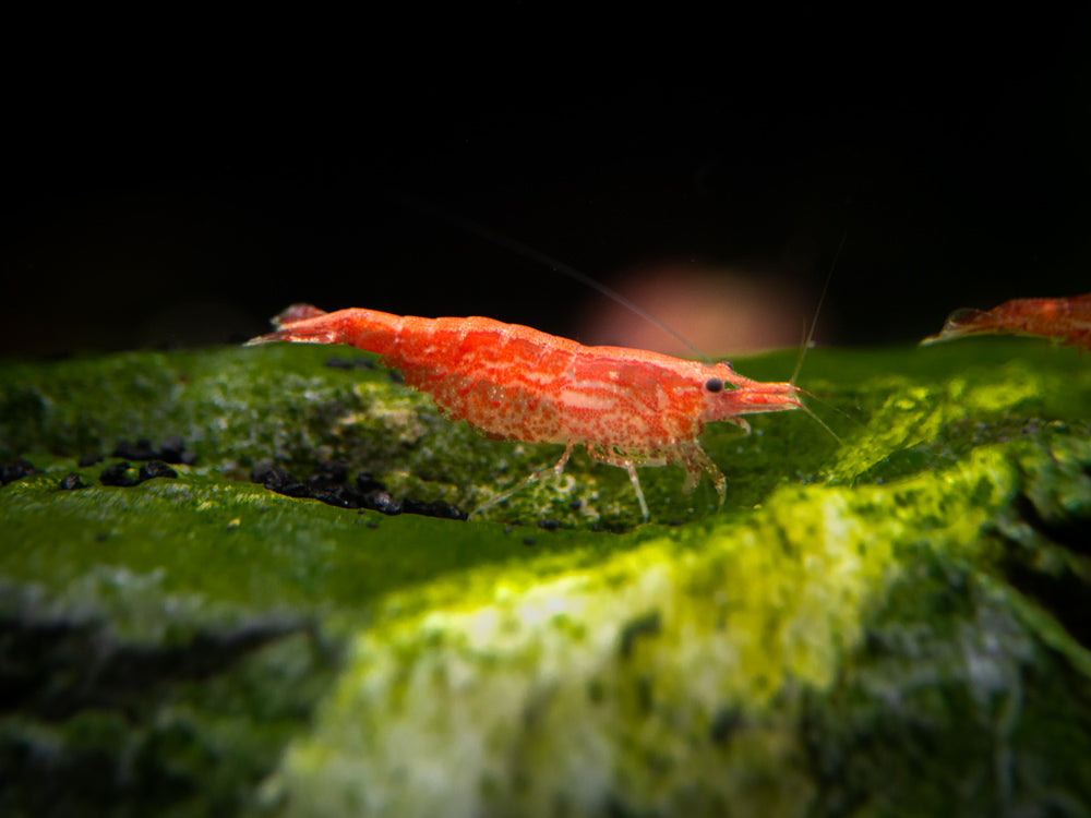 Dwarf Shrimp Rainbow Combo Pack: 3 Red Cherry Shrimp, 3 Neon Yellow Shrimp, 3 Amano Shrimp