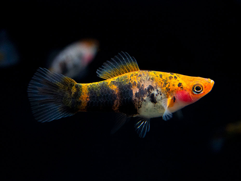 Koi Sanke Swordtail (Xiphophorus helleri hybrid), Males and Females, Tank-Bred!