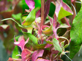 Mini Scarlet Temple (Alternanthera reineckii