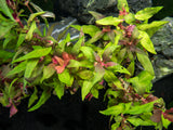 Scarlet Temple (Alternanthera reineckii), Bunched