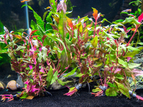 "Narrow Leaf Java Fern (Microsorum pteropus var. ""Narrow"") on 3+ inch Driftwood"