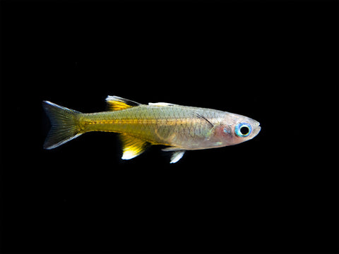Striped Kyathit AKA Orange Finned Danio (Brachydanio kyathit), Tank-Bred!