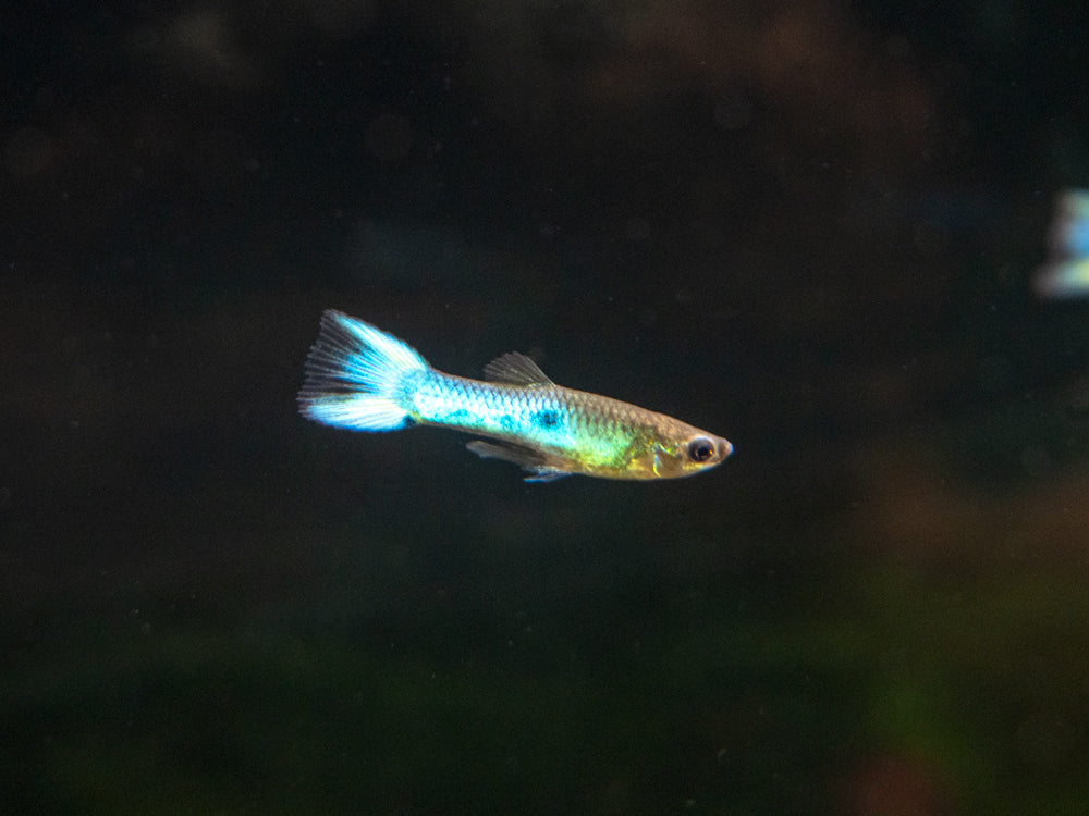 "Sky Blue Endler's Livebearer, Males and Females (Poecilia wingei var. ""Sky Blue""), Tank-Bred!"