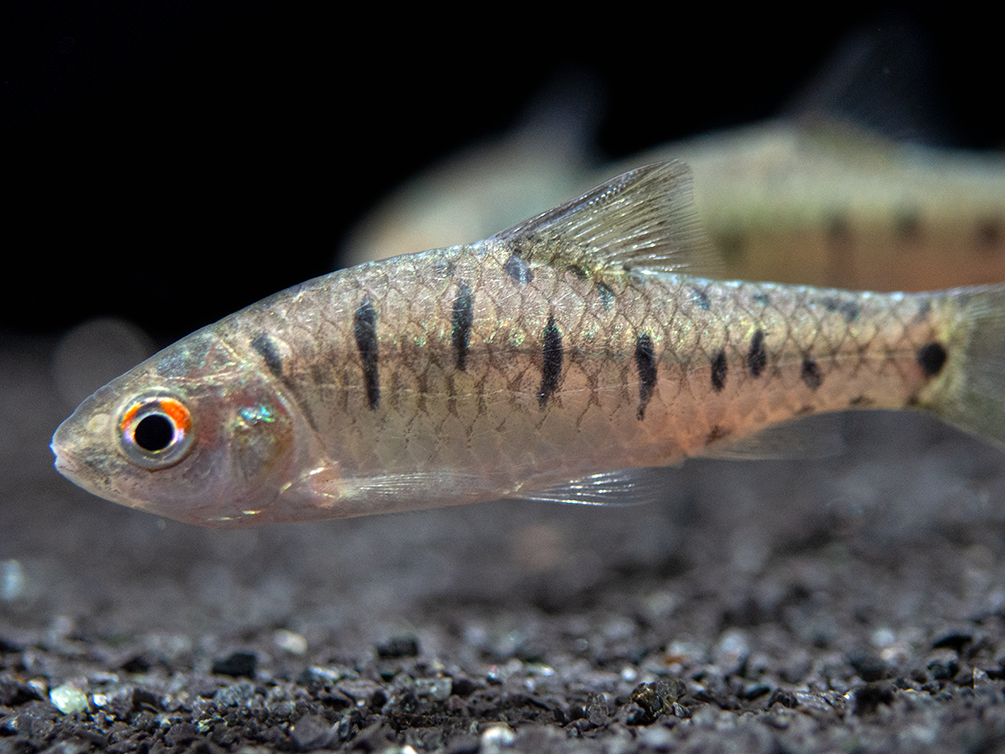 Snyder's Barb (Puntius snyderi), Tank-Bred!