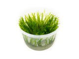 "Spiky Moss (Taxiphyllum sp. ""Spiky"") Tissue Culture"