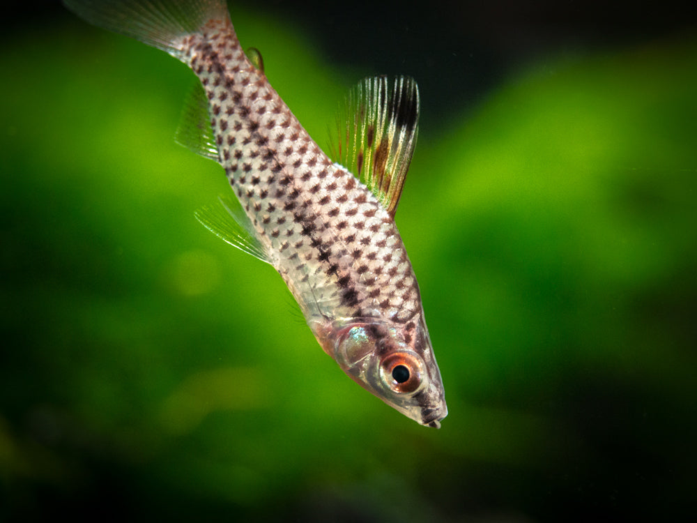 Spotted AKA Checkered Headstander (Chilodus punctatus) - Tank-Bred!