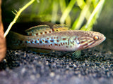 Purple Spotted Mogurnda Gudgeon (Mogurnda adspersa) - TANK-RAISED!!!