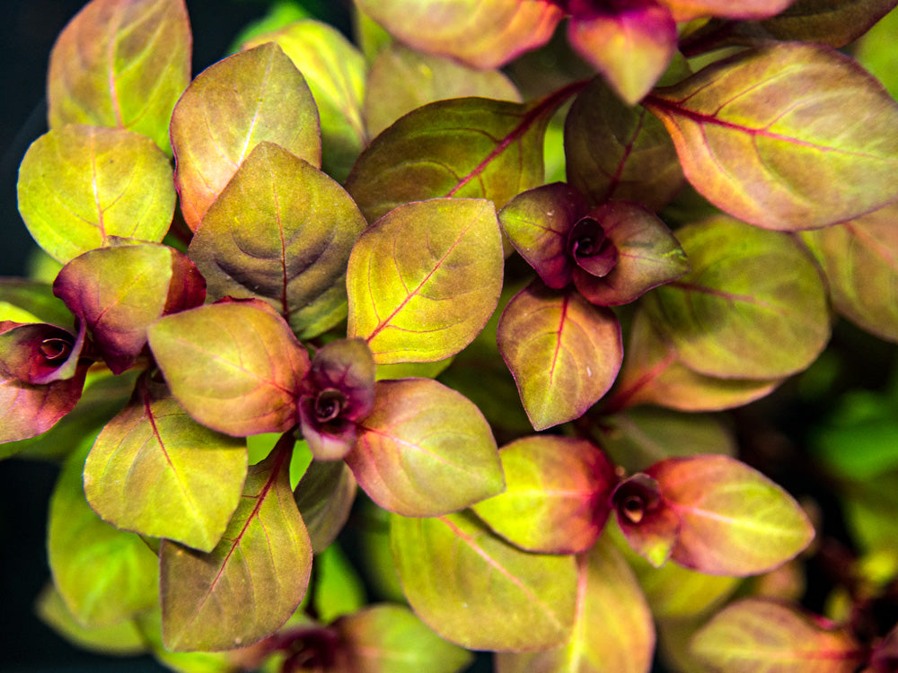 "Mini Super Red Ludwigia (Ludwigia sp. ""Mini Super Red""), Bunched"
