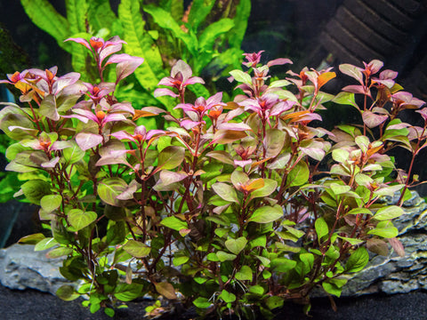 Dark Red Ludwigia (Ludwigia repens) - 2 Bunches