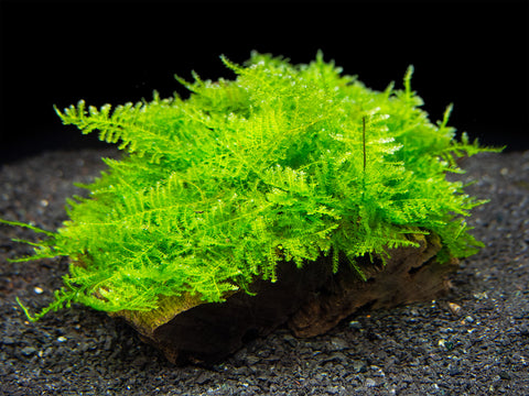 Flame Moss (Taxiphyllum sp.) on 3+ inch Driftwood