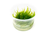 Taiwan Triangle Moss (Taxiphyllum alternans) Tissue Culture