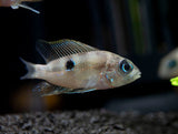 Blue and Red Flash Cichlid (Thorichthys aureus), Tank-Bred!