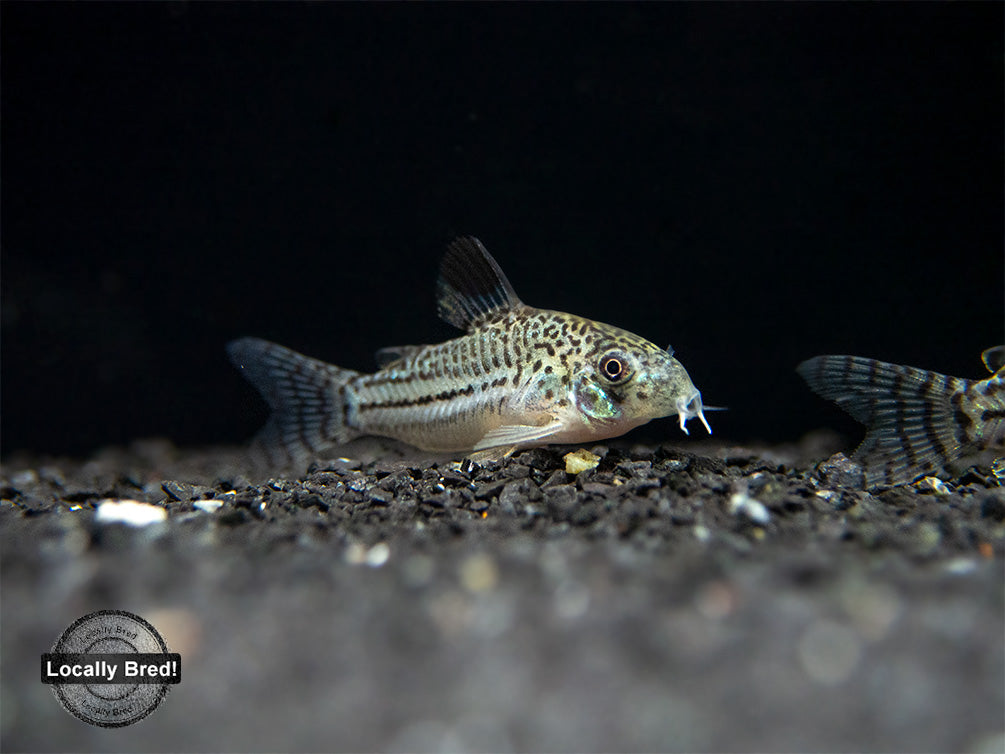 Threestripe AKA False Juli's Cory Catfish (Corydoras trilineatus), LOCALLY BRED!!!
