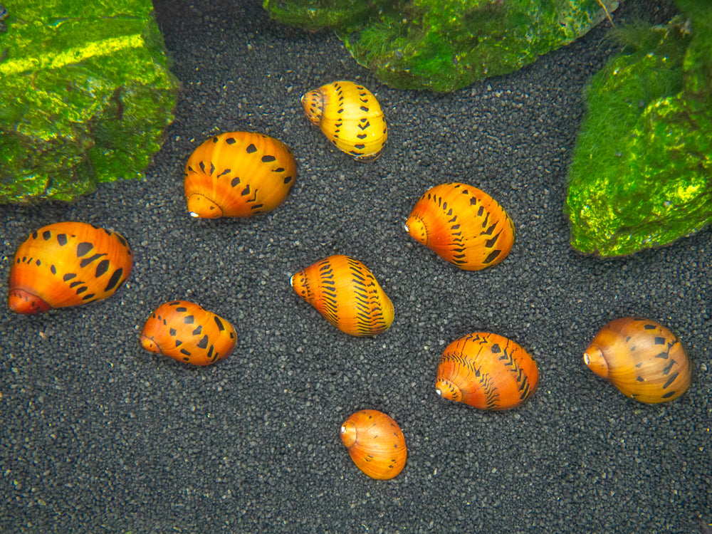 Nerite Snail Combo Pack: Tiger + Zebra + Assorted Horned Nerites
