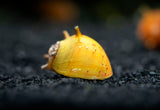 Three-Color Thorn/Horn Nerite Snail (Clithon corona/diadema)