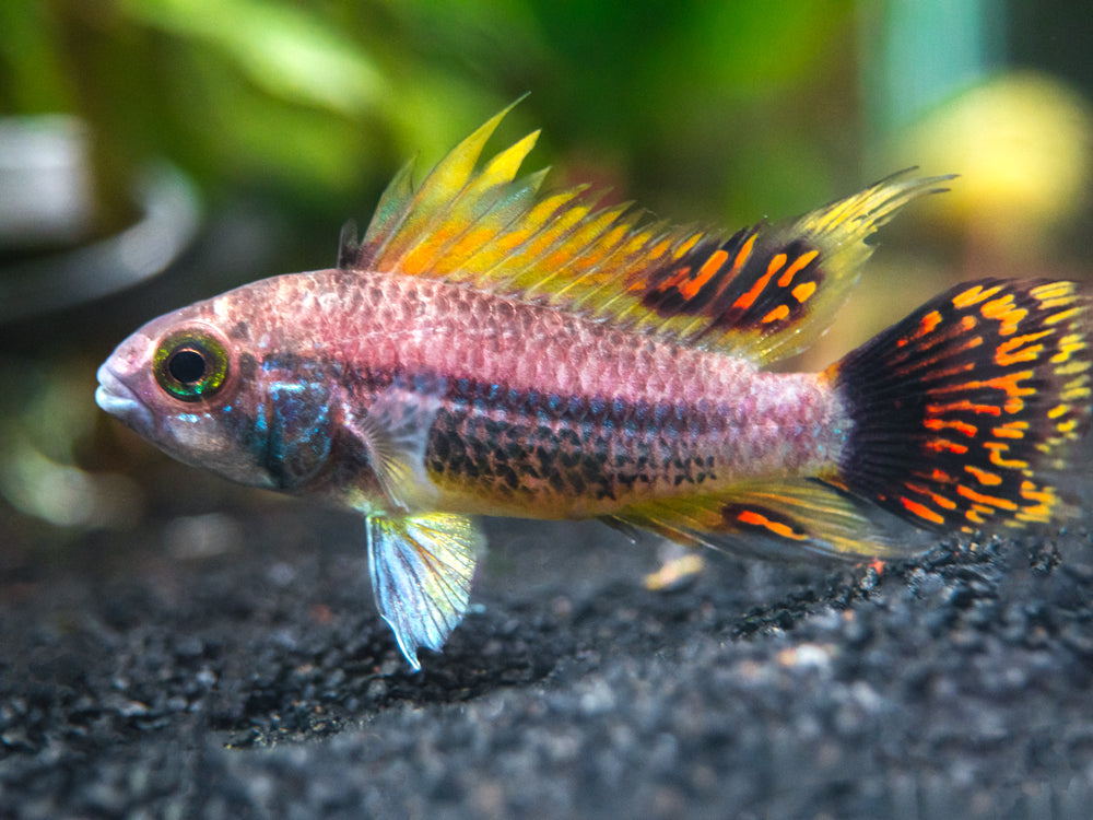 "Triple Red Cockatoo Dwarf Cichlid (Apistogramma cacatuoides var. ""Triple Red"") - TANK-RAISED!!!"