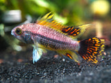 Triple Red Cockatoo Dwarf Cichlid (Apistogramma cacatuoides var.