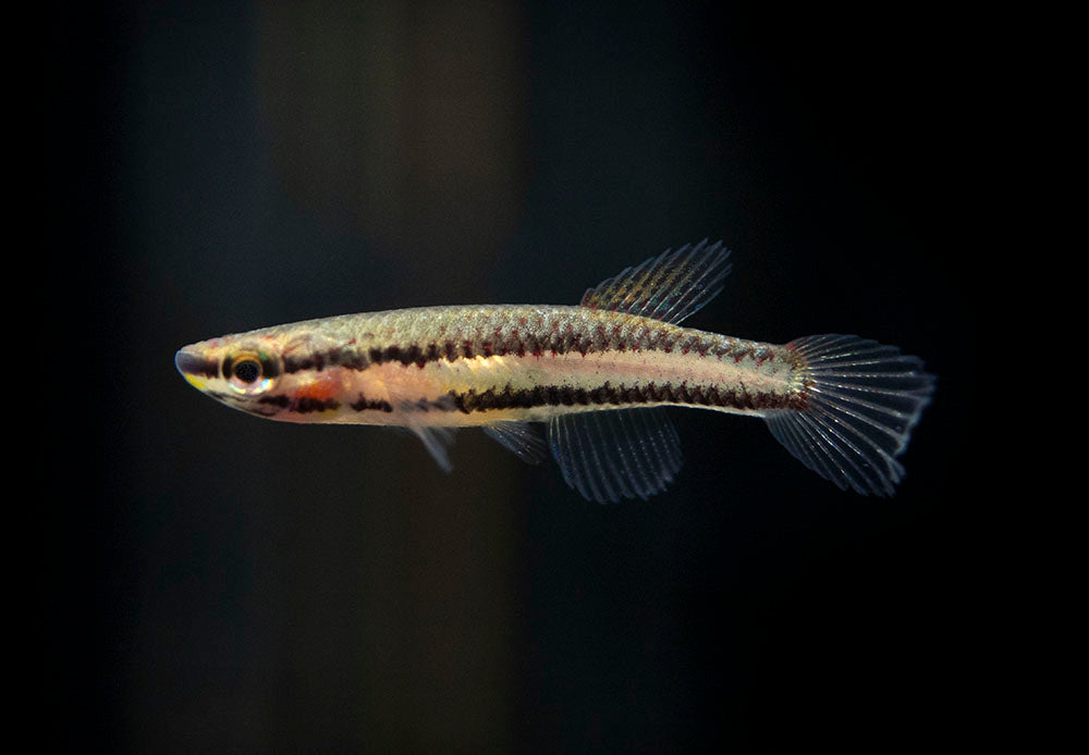 Two Stripe AKA Rainbow Lyretail Killifish (Aphyosemion bivittatum)