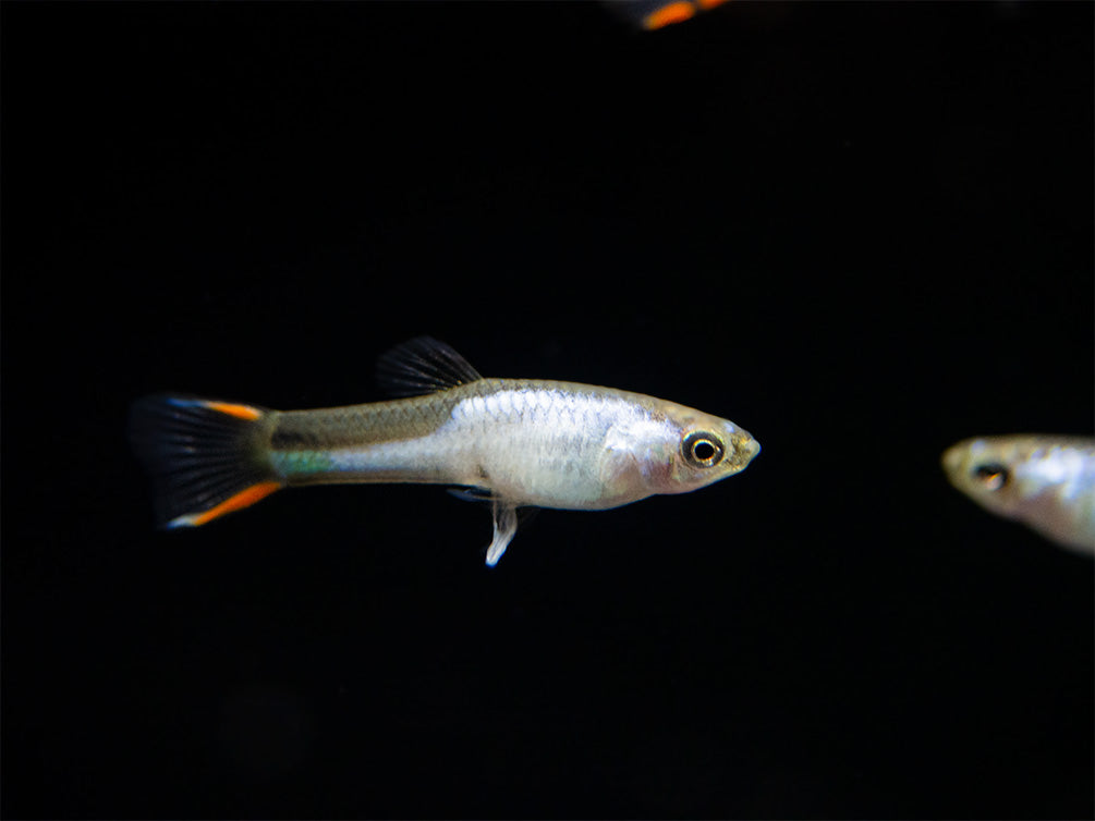 El Silverado Endler's Livebearer (Poecilia wingei), K Class Males and Females, USA BRED!!!