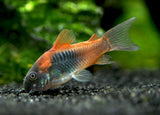 Orange Venezuelan Cory Catfish (Corydoras aeneus
