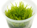 Weeping Moss (Vesicularia ferrieri) Tissue Culture