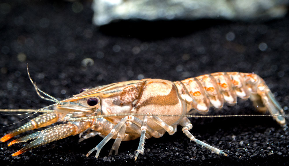 White Tubercled Crayfish (Procambarus spiculifer), Tank-Bred!