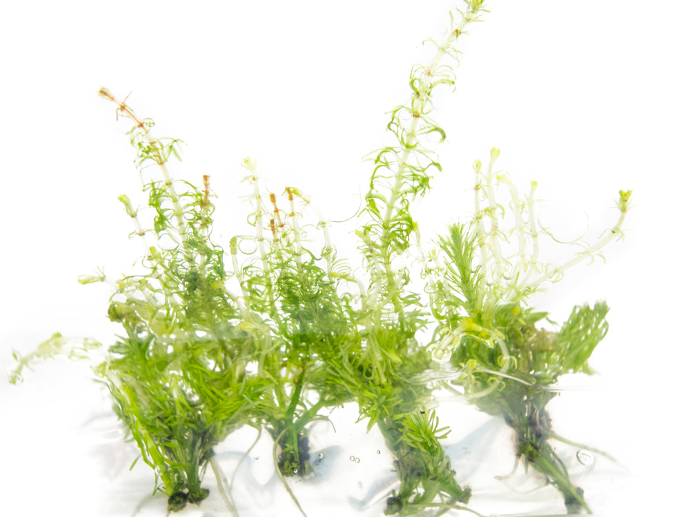 Whorly Rotala (Rotala wallichii) Tissue Culture